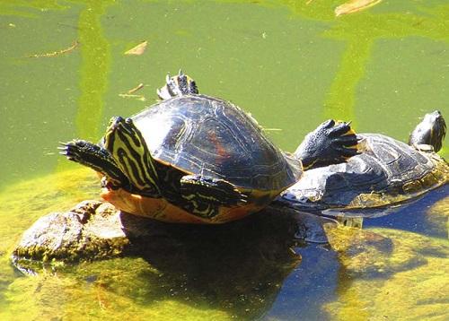 А вот так черепахи греются на солнце в парке Ла Палома в Бенальмадене Испания